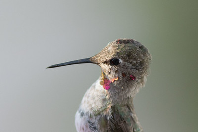 Inquisitive Humming bird 6/01/2015