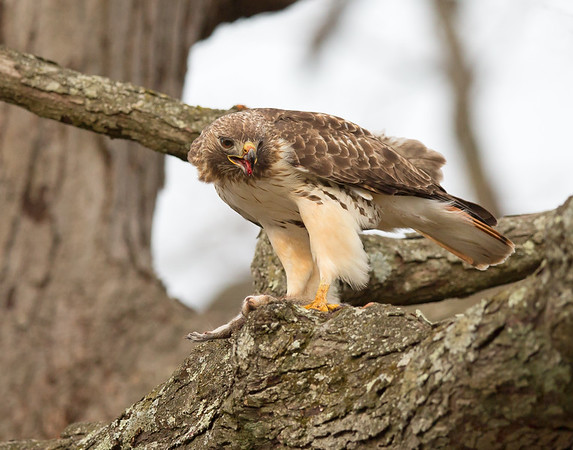 red-tailed hawk having breakfast with squirrel in byrd park, richmond, va in march