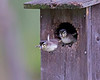 wood ducks fledging in chester, va in april