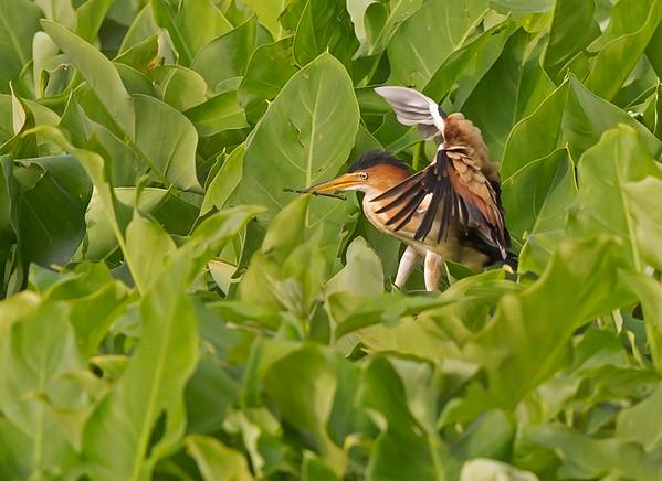 least bittern preparing a nest in chester, va in may