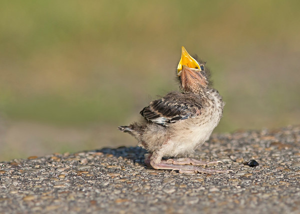 mockingbird chick calling for mom in chester, va in may