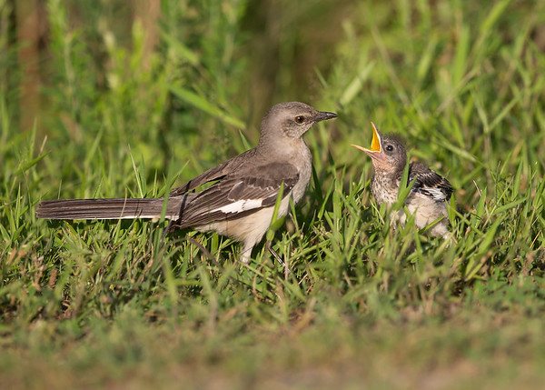mockingbird chick being fed in chester, va in may