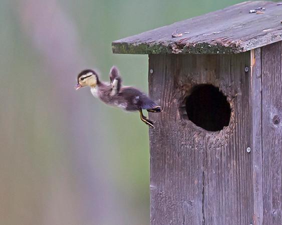 wood duck fledging in chester, va in april