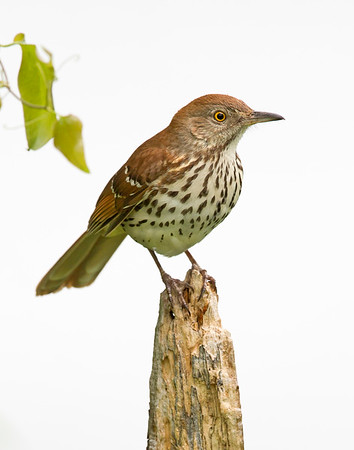 brown thrasher in chester, va in april