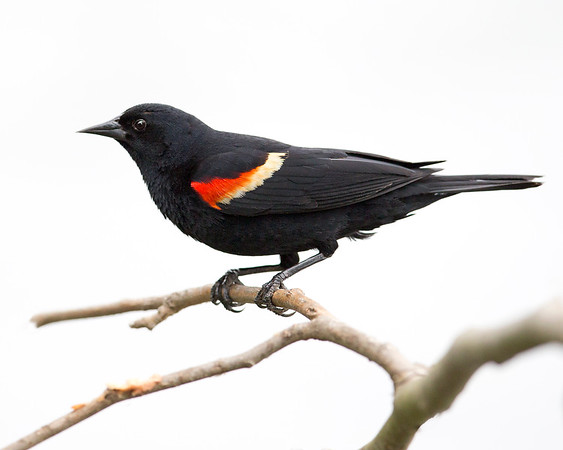 red-winged blackbird in dutch gap, chester, va in may