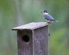 belted kingfisher visiting the wood duck box in chester, va in april