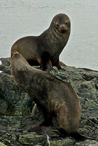 Fur Seals, Enterprise Harbor Anchorage, Antarctica