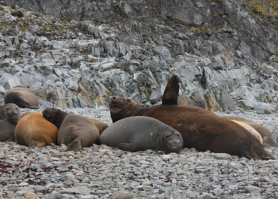 Elephant Seal Harem near Palmer Research Station, Antarctica