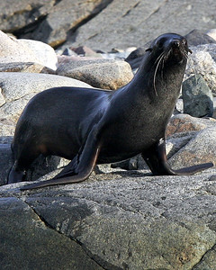Fur Seal in near Hovgaard, Antarctica