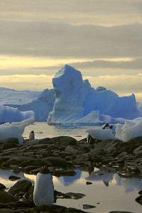 Gentoo Penguins at Cuuverville, Antarctica