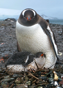 Gentoo Penguin Chick, Port Lockroy, Antarctica