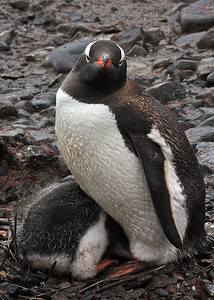 Gentoo Penguin with a shy chick, Port Lockroy, Antarctica
