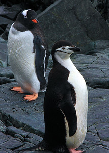 Gentoo and Chinstrap Penguins near Palmer Research Station, Antarctica