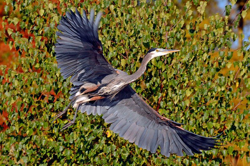 4772 Great Blue Heron