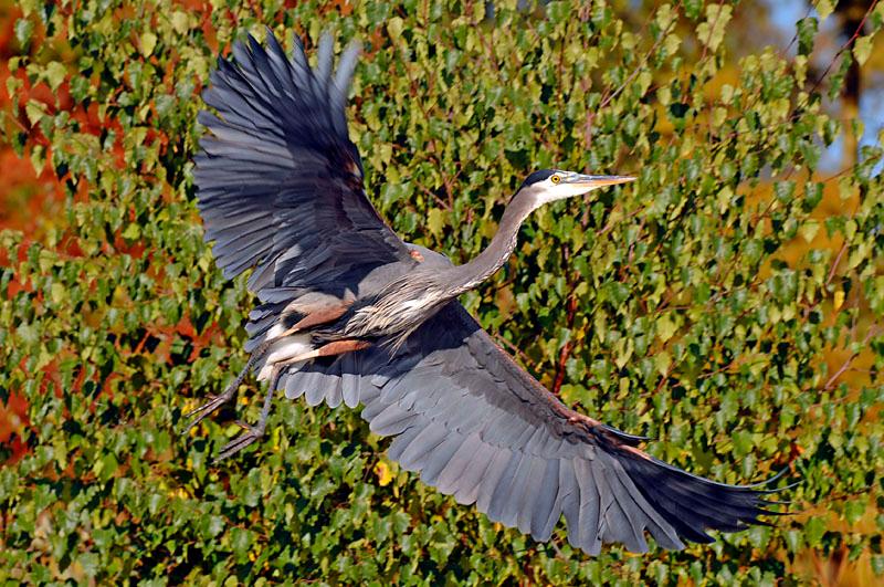 4772 Great Blue Heron