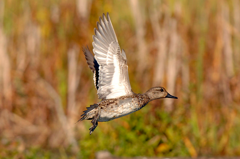 5107 Green-winged Teal
