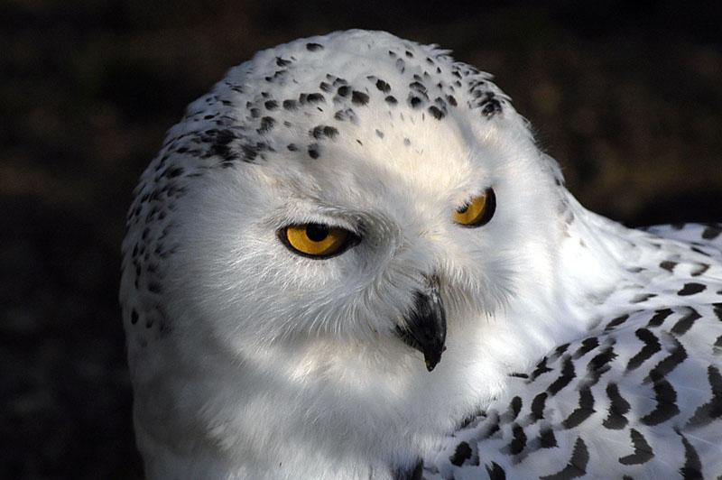 8608 Snowy Owl female