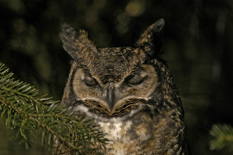 8598 Great Horned Owl sleeping