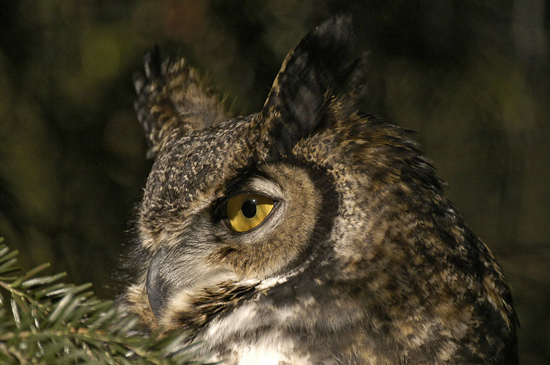 8590c Great Horned Owl
