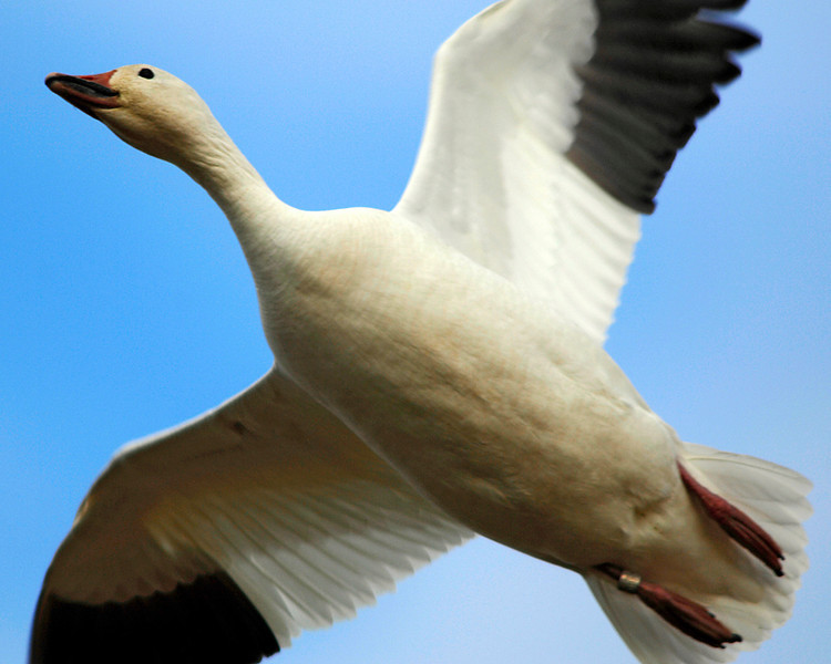 8951 Banded Goose
