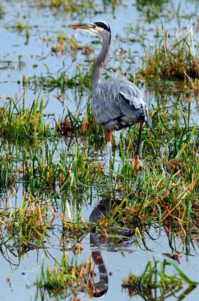 9282 Great blue Heron