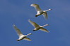 9895 Trumpeter Swans