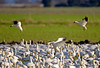 812 Snow Geese flared for landing