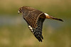 1077 Juvenile Northern Harrier