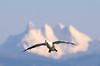 1297 Snow Goose and Three Fingers Mountain