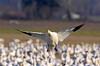1303 Snow Goose landing