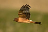 1075 Juvenile Northern Harrier