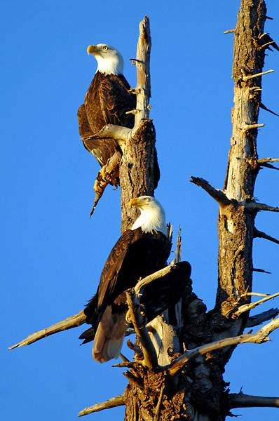 9678 Bald Eagles