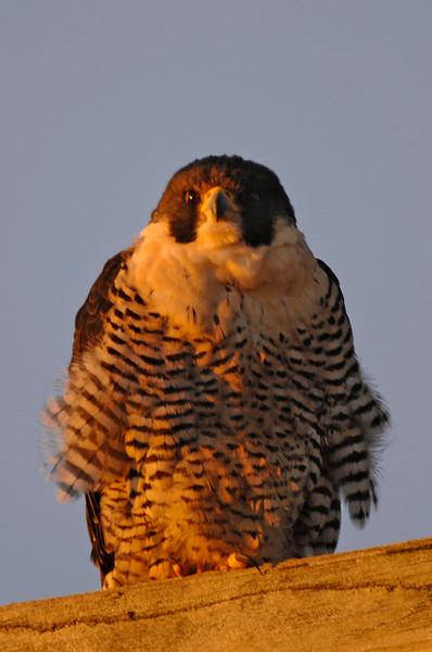 9720 Peregrine Falcon