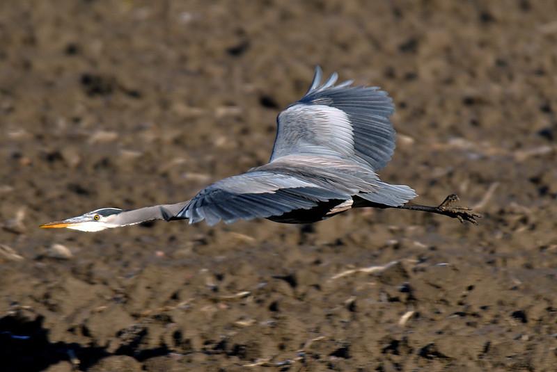 1213 Geat Blue Heron