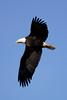 9499 Bald Eagle