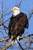 9482 Bald Eagle