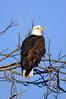 9462 Bald Eagle