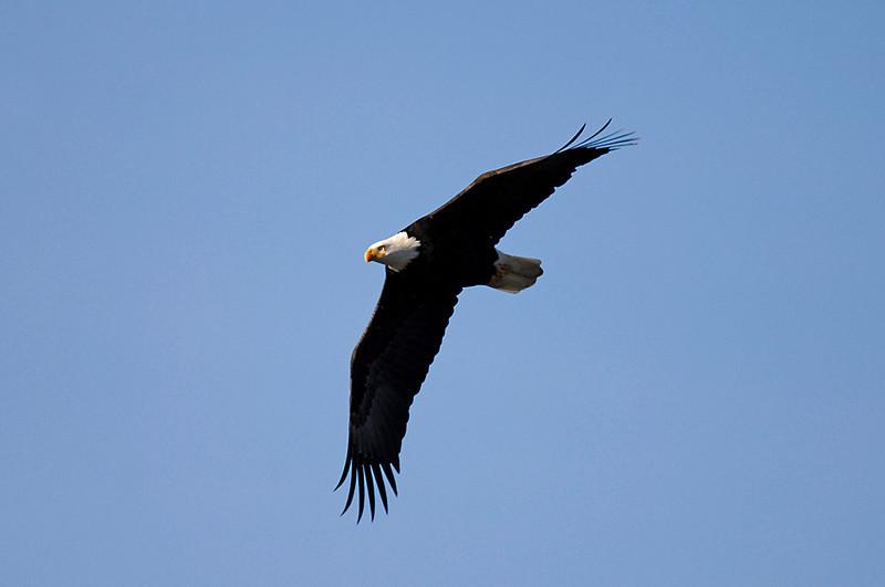 9494 Bald Eagle