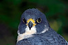 0203 Peregrine Falcon