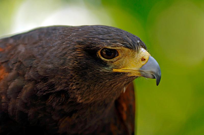 9983 Harris' Hawk