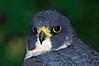 0041 Peregrine Falcon