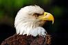 0015 Bald Eagle