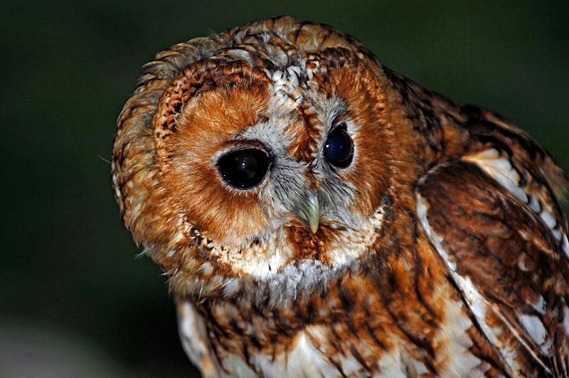 0200 Tawny Owl