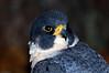 0220 Peregrine Falcon