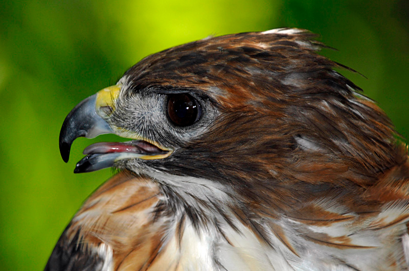 9871 Red-tailed Hawk