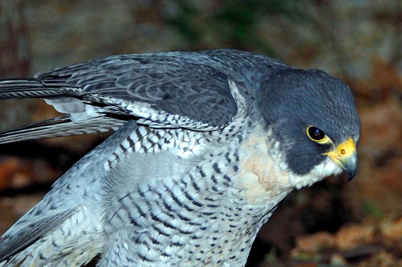 0139 Peregrine Falcon