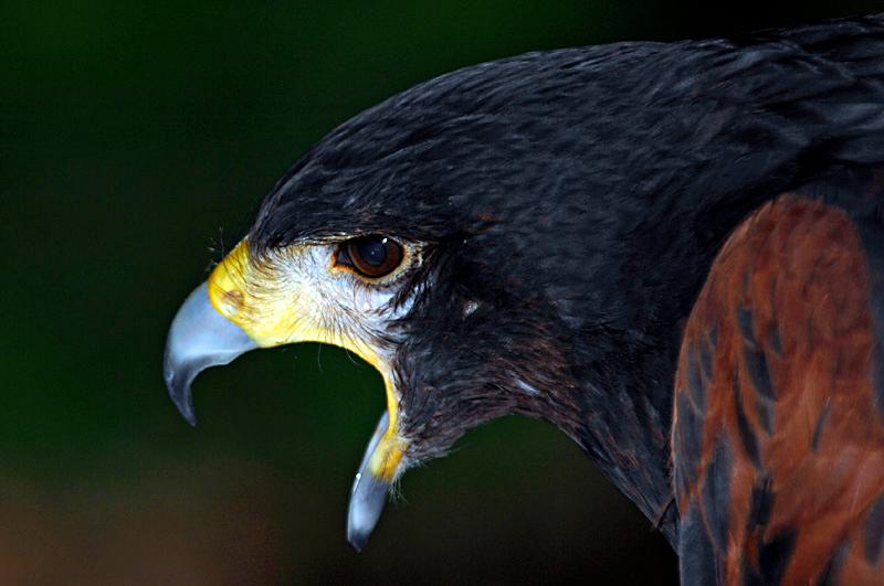 0224 Harris' Hawk