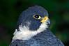 0198 Peregrine Falcon