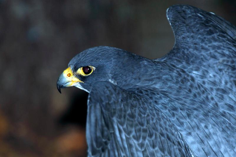 0187 Peregrine Falcon