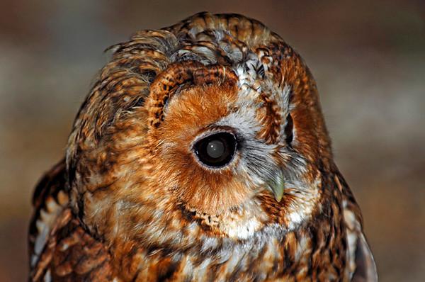 0184 Tawny Owl